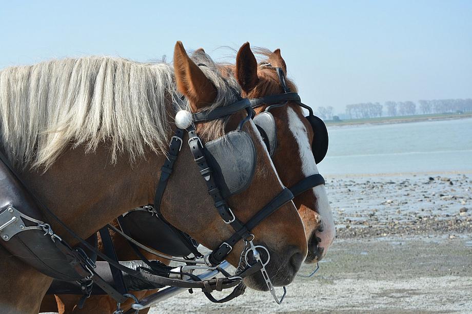 Zwei Pferde tragen Scheuklappen und gehen am ufer eines Sees entlang.