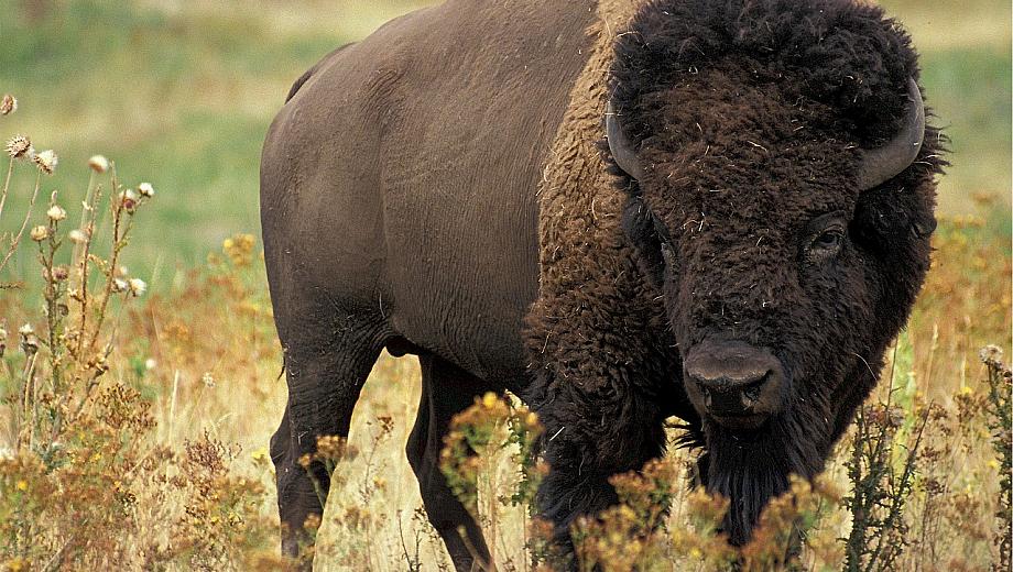 Bison Smartphone-Nacken